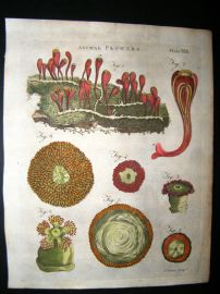 Encyclopaedia Britannica C1790 Hand Col Botanical Print. Animal Flowers